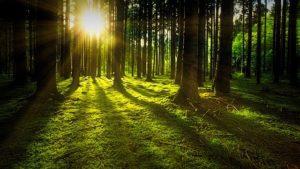 Kuvassa vehreä metsä, aurinko pilkistää puiden takaa.